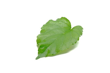Fresh green Mulberry leaf. Isolated on white background. Herbal, herbs, fresh green leaves ingredient for herbal tea
