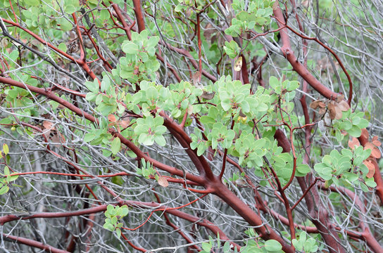 Manzanita tree in California with red branches and light green leaves
