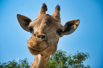 portrait of natural giraffe head in blue sky