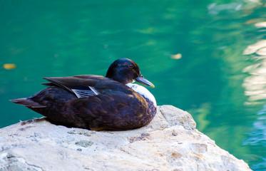 Ducks at San Antonio River Walk Texas