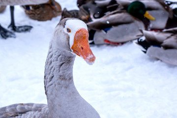 A close portrait of a grey swan goose walking in the snow
