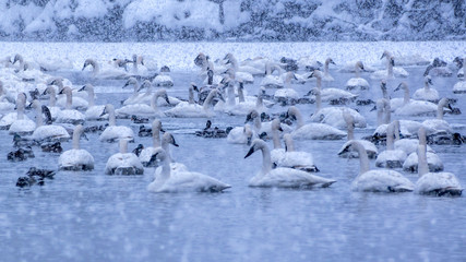 Swans are playing in open water of a lake under heavy snow shower