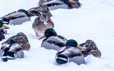 A group of mandarin ducks are looking for foods on snow covered ground
