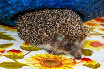 Hedgehog walks on the tablecloth on table