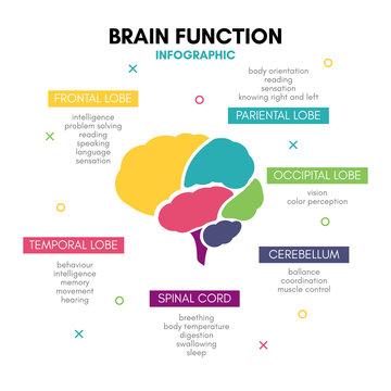 Creative human brain infographic concept lobe mind