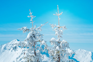Snow covered fir trees with mountain massif background