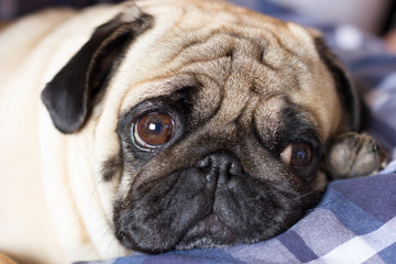 Papiers peints Chien Very sad dog pug with sad big eyes lies on a checkered rug