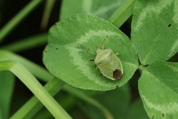 A Common Green Shieldbug (Palomena prasina) perched on a clover leaf.