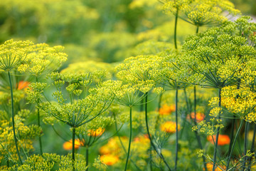 Fototapeta Dill blooming in the garden on a sunny day obraz