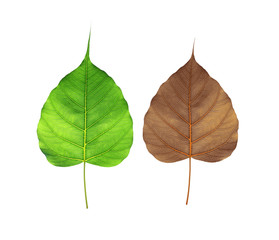 Green and Brown  bodhi leaf  isolated on white background