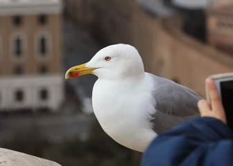 A white seagull on a stone surface looks around as somebody takes its picture with a cell phone.