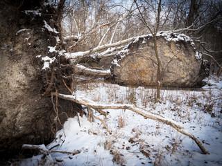 Fallen tree after storm in winter