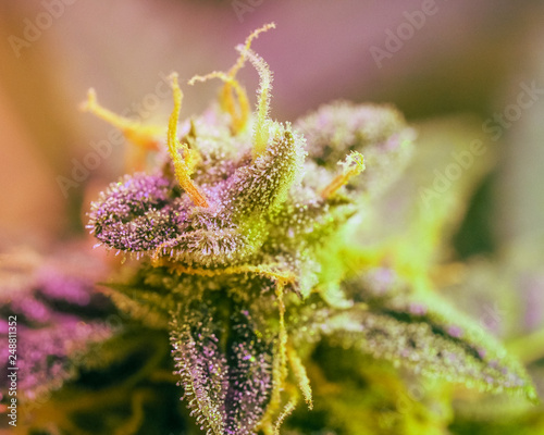 Close-up detail of Cannabis, trichomes and leaves on late