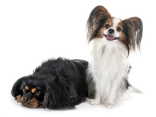 cavalier king charles and papillon