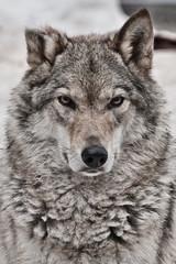 Closeup portrait of a wolf,  head of a powerful proud predator,