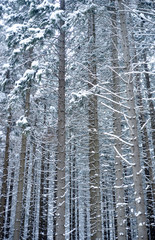 Snow covered trees in a forrest a pattern