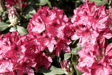 Closeup of the blooming red rhododendron in spring