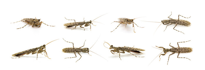 Group of Camouflaged bark mantis (Liturgusa sp.) on white background. Insect. Animal.