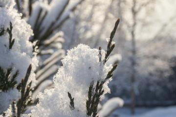 Juniper branch under the snow