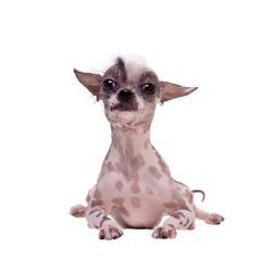 Peruvian hairless and chihuahua mix dog on white