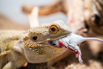 female bearded dragon chewing on a mouse