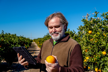 Farmer with a tablet observes an orange in his field of cultivation