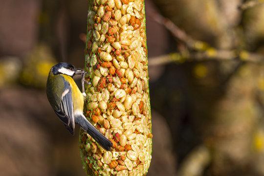 Great tit (Parus major) eats birdseed (nuts)