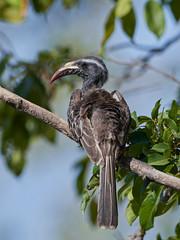 African grey hornbill (Lophoceros nasutus)