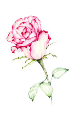 Watercolor painting red rose - Illustration.