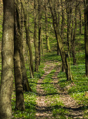 The path through the spring forest with the anemones