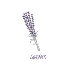 Bouquet of lavender on a white background. Black and White line design. Vector illustration bundle.