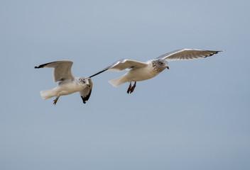 Pair of Ring Billed Gulls