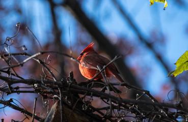 Cardinal bird perching