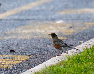 An American Robin kerb crawling