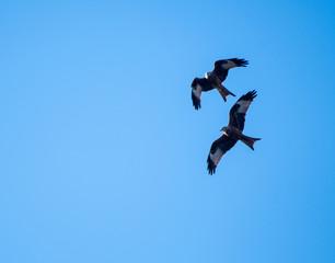 Pair of Red Kites