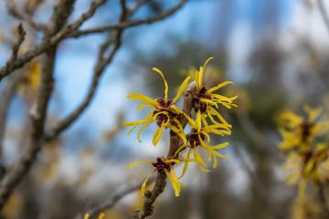 Chinese Witch Hazel Flowers in Bloom in Winter