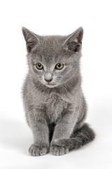 Katzen-Russisch-Blau-16439