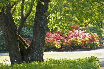 Time of azaleas bloom in the botanical garden.