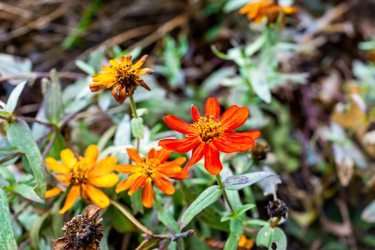Macro closeup of orange and yellow daisy zinnia flowers in garden showing detail and texture in autumn summer garden season wilting