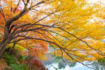 Colorful maple branches in autumn season on water reflection, maple tree lay down have shadow on lake in garden,Japan.