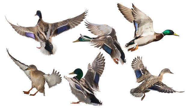 six mallard ducks in flight on white