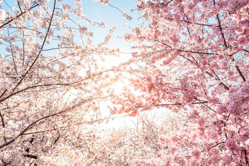 Low angle view of vibrant pink cherry blossom sakura tree sunburst through branch in spring in Washington DC during festival Wall mural