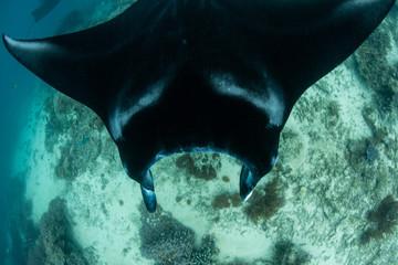 Resident Manta Ray Swimming in Raja Ampat