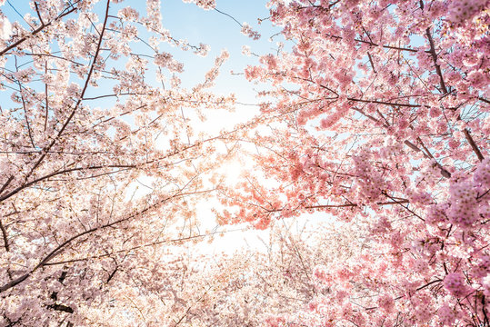 Low angle view of vibrant pink cherry blossom sakura tree sunburst through branch in spring in Washington DC during festival