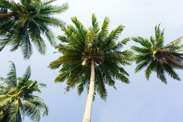 the coconut trees on tilt angle in thailand