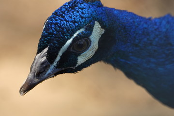 colorful peafowl bird portrait and detail