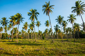 Afternoon in the garden with coconut trees.8