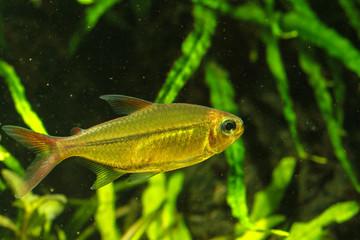 Copei Tetra(Moenkhausia copei) beautiful tetra fish from Orinoco river