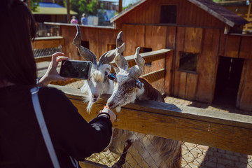 young woman feeding animals and taking picture. goat close up. zoo life. farming
