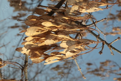 Seeds Of Acer Negundo Tree At Autumn Stock Photo And Royalty Free